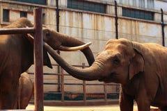 在动物园的两头印度象 图库摄影