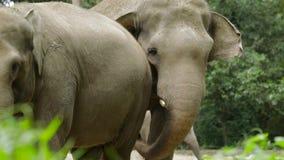 在动物园的亚洲大象 股票录像