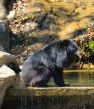 在动物园的亚洲黑熊 图库摄影