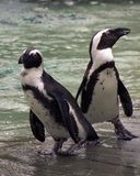 在动物园的企鹅 免版税库存照片