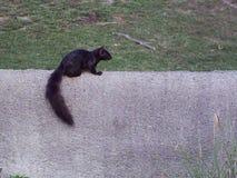 在动物园的使变冷的Squarrel 免版税库存图片