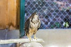 在动物园的共同的肉食鵟鸟鵟鸟 库存图片