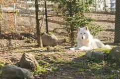 在动物园的北冰的狼 库存图片