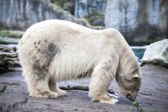 在动物园的北极熊特写镜头 走在动物园鸟舍的一头大男性北极熊 免版税库存照片