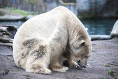在动物园的北极熊特写镜头 走在动物园鸟舍的一头大男性北极熊 免版税库存图片