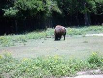在动物园的北美野牛 免版税图库摄影