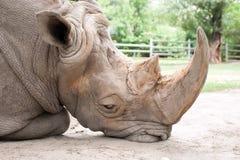 在动物园的哀伤的犀牛 免版税库存图片