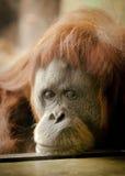 在动物园的哀伤的orangutang 库存照片
