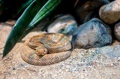 在动物园的响尾蛇 免版税库存照片