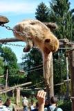 在动物园的哺养的猴子 免版税库存图片