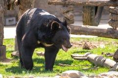 在动物园的喜马拉雅熊 免版税图库摄影