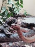 在动物园的大棕色蛇 免版税库存图片
