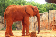 在动物园的大老大象 免版税图库摄影