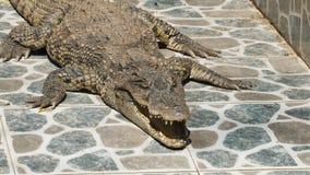 在动物园的大鳄鱼 股票视频
