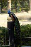 在动物园的孔雀 免版税库存照片