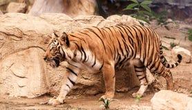 在动物园的孟加拉老虎 免版税库存图片