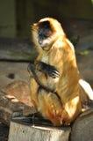 在动物园的害羞的猴子 图库摄影