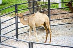 在动物园的小骆驼 免版税图库摄影
