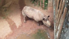 在动物园的巨大和crual河马 免版税库存照片