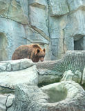 在动物园的年轻北美灰熊 库存照片