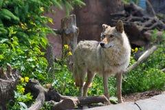 在动物园的幼小和强的灰狼 库存照片