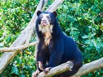 在动物园的戴了眼镜熊Tremarctos ornatus 免版税库存照片