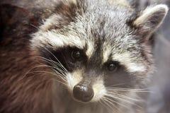 在动物园的浣熊 库存图片