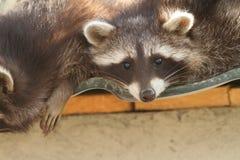 在动物园的浣熊 免版税库存照片