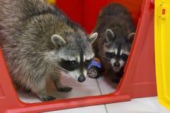 在动物园的滑稽和蓬松浣熊 免版税库存图片