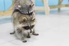 在动物园的滑稽和蓬松浣熊 免版税库存照片