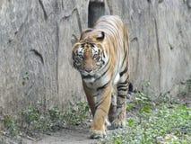 在动物园的点击孟加拉老虎一张令人敬畏的照片在笼子的 库存图片