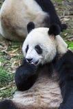 在动物园的熊猫在成都,中国 免版税库存图片