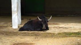 在动物园的牦牛 影视素材
