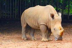 在动物园的犀牛 库存图片