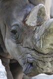 在动物园的犀牛 库存照片