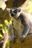 在动物园的狐猴 免版税图库摄影