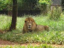 在动物园的狮子在贝洛奥里藏特 库存照片