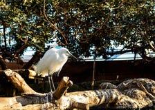 在动物园的白色苍鹭 免版税库存照片