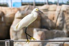 在动物园的白鹭石头背景的  库存照片