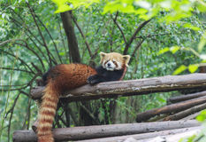 在动物园的红熊猫在成都,中国 免版税库存图片