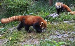 在动物园的红熊猫在成都,中国 库存图片