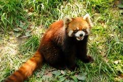 在动物园的红熊猫 免版税库存照片