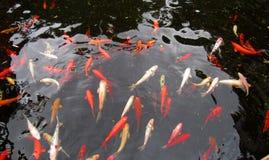 在动物园的红色鱼 图库摄影
