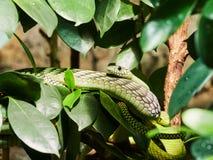 在动物园的绿眼镜蛇蛇 库存图片