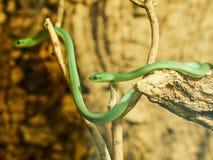 在动物园的绿眼镜蛇蛇 图库摄影