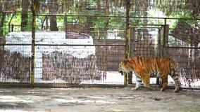 在动物园的老虎 股票录像