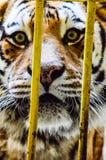 在动物园的老虎 免版税库存图片