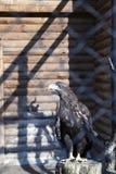 在动物园的老鹰 库存照片