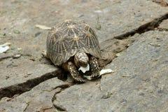 在动物园的草龟 库存照片