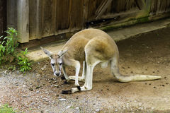在动物园的袋鼠 免版税库存照片